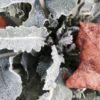 kålblad i frostskrud