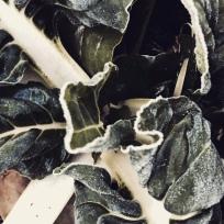 Mangold i frostskrud