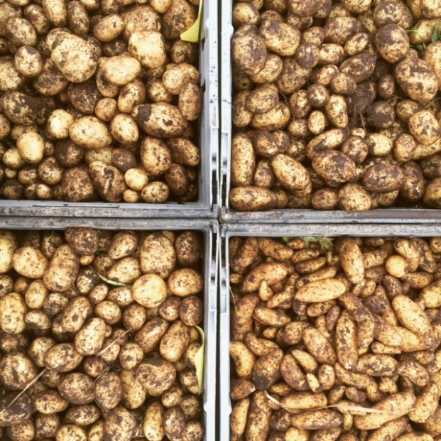 4 x ekologisk potatis: 'Perlo', 'Maritema', 'Sava', 'Mandel'